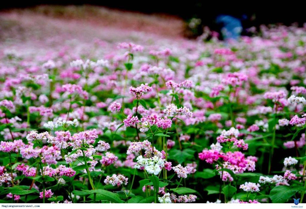 Cùng nhau đi ngắm mùa hoa nở rộ ở Hà Giang nào!